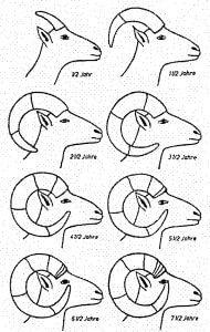 Hornwachstum Muffelwild
