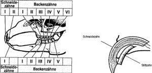 zahnschema-hase